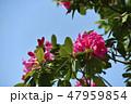 シャクナゲ 石南花 石楠花の写真 47959854