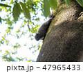 リス 動物 哺乳類の写真 47965433