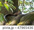リス 動物 哺乳類の写真 47965436
