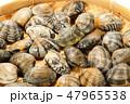 浅蜊 蛤仔 鯏の写真 47965538