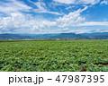 畑 蒟蒻芋 緑色の写真 47987395