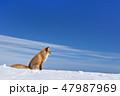 キタキツネ 冬 狐の写真 47987969