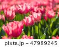 お花 フラワー 花の写真 47989245