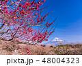 (静岡県)岩本山公園の梅と富士山 48004323