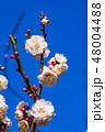 梅 梅の花 花の写真 48004488