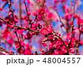 梅 梅の花 花の写真 48004557