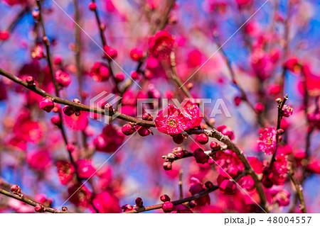 紅梅の花 アップ 48004557
