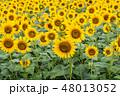 ひまわり 花畑 ひまわり畑の写真 48013052