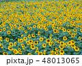 ひまわり 花畑 ひまわり畑の写真 48013065
