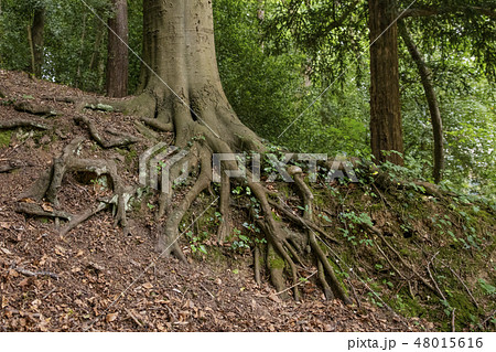 Big tree root with ivy in a forest 48015616