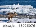 流氷 冬 牡鹿の写真 48026076