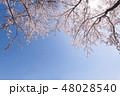 満開の桜と透き通るような青空に春の暖かな陽射し 48028540