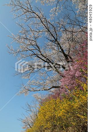 桜と雪柳とレンギョウ 48045929