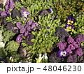 紫色 パンジー 植物の写真 48046230