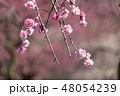 花 梅 紅梅の写真 48054239