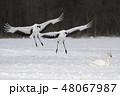 タンチョウ 丹頂鶴 鶴の写真 48067987