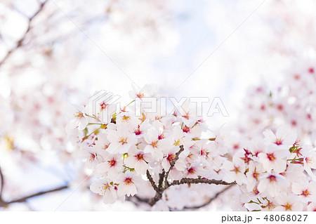 桜 48068027