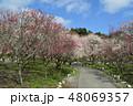 春 梅 満開の写真 48069357