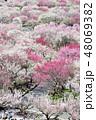 春 梅 花の写真 48069382