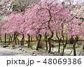 春 梅 花の写真 48069386