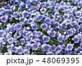 植物 花 ビオラの写真 48069395