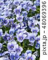 植物 花 ビオラの写真 48069396