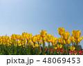 花 チューリップ チューリップ畑の写真 48069453