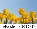花 チューリップ チューリップ畑の写真 48069454