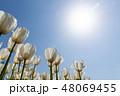 花 チューリップ チューリップ畑の写真 48069455