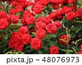 バラ 薔薇 赤の写真 48076973