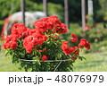バラ 薔薇 赤の写真 48076979