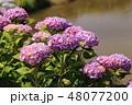 あじさい 紫陽花 花の写真 48077200