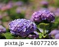 あじさい 紫陽花 アナベルの写真 48077206
