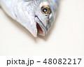 黒鯛 口 歯 クローズアップ 48082217