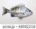 黒鯛 稚魚 2年 48082218
