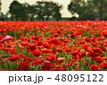 ポピー 花 花畑の写真 48095122