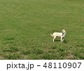 草原の犬 犬 野良犬 宮古島 南国 干支 十二支 戌年 dog 48110907
