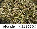 サトウキビ 砂糖黍 Saccharum officinarum 農業 収穫 宮古島 沖縄 48110908