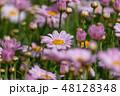 マーガレット 花 植物の写真 48128348