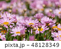マーガレット 花 植物の写真 48128349