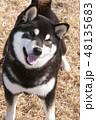 黒柴 和犬 日本犬の写真 48135683
