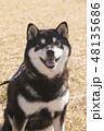 黒柴 和犬 日本犬の写真 48135686