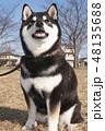 黒柴 和犬 日本犬の写真 48135688