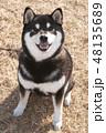 黒柴 和犬 日本犬の写真 48135689