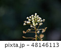 ナズナ ペンペン草 春の七草の写真 48146113