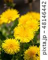 春の野原とタンポポ 48146442