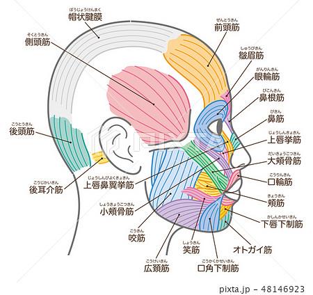 顔の筋肉 側頭部 名称入り 48146923