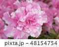 アザレア アゼリア 西洋ツツジの写真 48154754