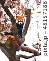 木の上のレッサーパンダ 48157186