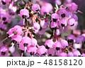 ジャノメエリカ 花 植物の写真 48158120